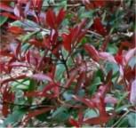 Kompakte Glanzmispel 60-80cm . Photinia fraseri