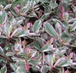 Glanzmispeln Pink Marble 100-125cm - Photinia fraseri - Vorschau