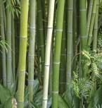 Wasser Bambus Green Perfume 125-150cm - Phyllostachys atrovaginata - Vorschau