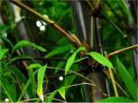 Schwarzrohrbambus 125-150cm - Phyllostachys nigra