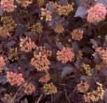 Fasanenspiere Summer Wine 80-100cm - Physocarpus opulifolius - Vorschau