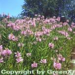 Gelenkblume Bouquet Rose - Physostegia virginiana