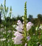 Gelenkblume Summer Snow - Physostegia virginiana - Vorschau