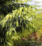 Kaukasus Fichte Aurea 80-100cm - Picea orientalis Aurea - Vorschau