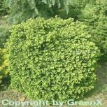 Hochstamm Nestfichte Kissenfichte Little Gem 40-60cm - Picea abies