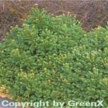 Gnomfichte 20-25cm - Picea abies - Vorschau