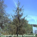 Schlangenfichte 100-125cm - Picea abies - Vorschau