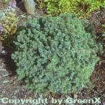 Blaue Igelfichte 15-20cm - Picea glauca - Vorschau