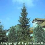 Serbische Fichte 60-80cm - Picea omorika