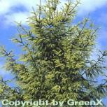 Orientalische Goldfichte 40-50cm - Picea orientalis Aurea