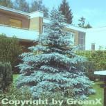 Silberfichte Blaufichte Hoopsii 80-100cm - Picea pungens - Vorschau