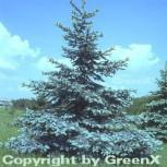 Blaufichte Koster 100-125cm - Picea pungens