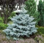 Blaue Stechfichte 40-60cm - Picea pungens glauca - Vorschau