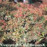 Schattenglöckchen Lavendelheide Little Heath 20-25cm - Pieris japonica - Vorschau