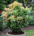 Schattenglöckchen Lavendelheide Passion® 40-50cm - Pieris japonica