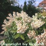 Schattenglöckchen Lavendelheide Prelude 30-40cm - Pieris japonica - Vorschau