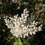 Schattenglöckchen Lavendelheide Purity 20-25cm - Pieris japonica - Vorschau
