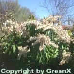Schattenglöckchen Lavendelheide Red Mill 30-40cm - Pieris japonica - Vorschau