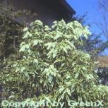 Weißbuntes Schattenglöckchen 15-20cm - Pieris japonica - Vorschau