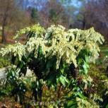 Zwerg Schattenglöckchen 30-40cm - Pieris japonica