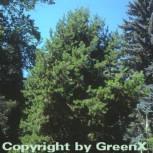 Drehkiefer 40-60cm - Pinus contorta - Vorschau