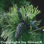 Schlangenhautkiefer Panzerkiefer 70-80cm - Pinus heldreichii - Vorschau