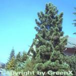 Blaue Koreakiefer 40-60cm - Pinus koraiensis - Vorschau
