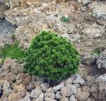 Zwerg Bergkiefer Benjamin 25-30cm - Pinus mugo