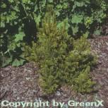 Wintergelbe Zwergbergkiefer 10-15cm - Pinus mugo - Vorschau
