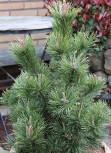 Kegel Bergkiefer 100-125cm - Pinus mugo