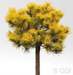Hochstamm Zwergkiefer Golden Glow 40-60cm - Pinus mugo