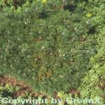 Zwergkiefer Humpy 40-50cm - Pinus mugo