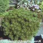 Kugelkiefer Mops 30-40cm - Pinus mugo