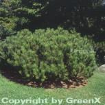 Zwerg Bergkiefer 25-30cm - Pinus mugo - Vorschau