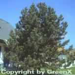 Säulen Schwarzkiefer 30-40cm - Pinus nigra - Vorschau