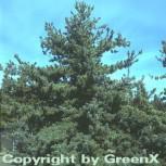 Blaue Mädchenkiefer Glauca 100-125cm - Pinus parviflora - Vorschau