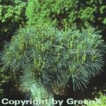 Zwergseidenkiefer 15-20cm - Pinus strobus - Vorschau