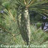 Weymouths Kiefer Seidenkiefer 80-100cm - Pinus strobus - Vorschau