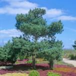 Gemeine Kiefer Glauca 80-100cm - Pinus sylvestris - Vorschau