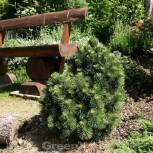 Hakenkiefer 60-80cm - Pinus uncinata