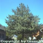 Tränenkiefer 40-50cm - Pinus wallichiana