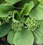 Wegerich Rosularia - Plantago major - Vorschau