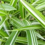 Zweifarbiger Zwergbambus - großer Topf - Pleioblastus variegatus