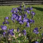 Blaue Himmelsleiter Heavenly Habit - Polemonium caeruleum