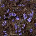 Jakobsleiter Purple Rain - Polemonium reptans - Vorschau