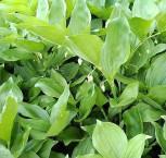 Salomonspiegel Waldzwerg - Polygonatum hirtum