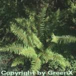 Weicher Schildfarn Dahlem - Polystichum setiferum - Vorschau