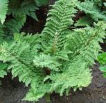 Weicher Schildfarn Plumosum Densum - Polystichum setiferum