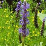 Herzblättrige Hechtkraut - Pontederia cordata - Vorschau