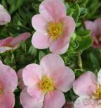 10x Fünffingerstrauch Lovely Pink - Potentilla fruticosa - Vorschau